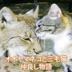 オオヤマネコと三毛猫の仲良し物語