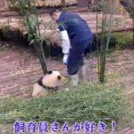 飼育員さんが好きすぎる子パンダが何度も抱きつくけど仕事の邪魔だから