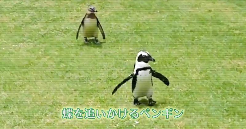 蝶を追いかけるペンギンが可愛い ただただ可愛い